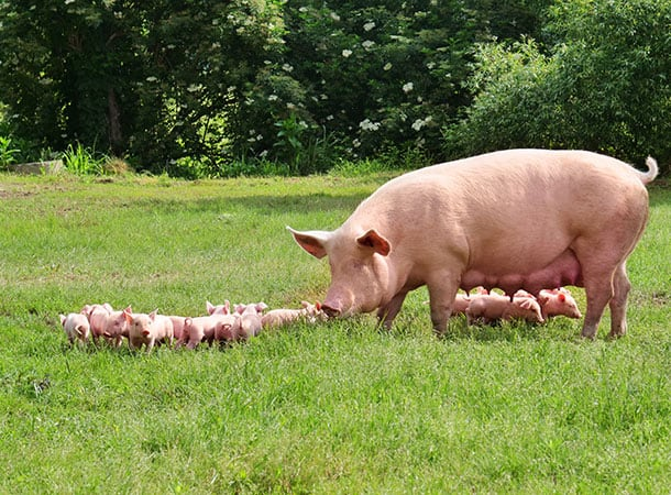 Appeal For Information After 67 Piglets Stolen from Farm In Fordingbridge